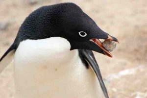 penguin-rock